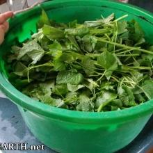 garlic mustard harvest