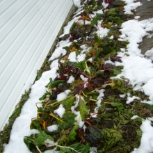 digging chard under the snow in late November